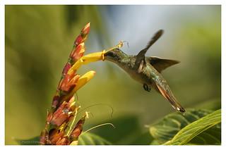 Colibri à gorge rubis; Archilochus colibris; Ruby throated Hummingbird; Colibri orgirrubi
