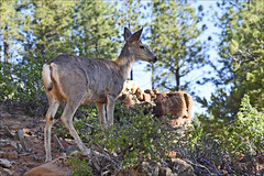 Morning Visitor (Runemaker) Tags: wildlife deer camp campsite westrim trail zion nationalpark utah wilderness forest woods trees nature hiking backpacking