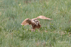 Burrowing Owl mating sequence - 17 of 22