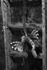 Pterois, ladder-climbing (mona_dee) Tags: fish aquarium pterois ladder