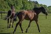 Pferde auf der Wiese (thomas druyen) Tags: pferd gras baum tier pferde horse horses sport reitverein weeze stute