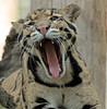 clouded leopard Ouwehands BB2A6086 (j.a.kok) Tags: luipaard leopard nevelpanter panter panther neofelisnebulosa cloudedleopard kat cat animal ouwehands mammal zoogdier dier predator asia azie