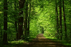spring in the forest (JoannaRB2009) Tags: spring forest las woods nature green tree trees tunnel light fresh path road łódzkie lodzkie polska poland laswiączyński