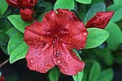Red Flower Macro (hank278) Tags: redflowers photoaday pad canoncamera canon red waterdrops water flowers flower
