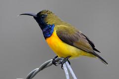 Olive-backed Sunbird (Cinnyris jugularis) (Thanks for 2 million views) Tags: olivebackedsunbird cinnyrisjugularis explored explore