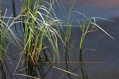 grass growing in a lake (EllaH52) Tags: water lake blue spring sun grass reflections