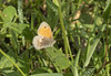 Bruin zandoogje / Maniola jurtina (m.ritmeester) Tags: ngc naturelovers natuur nederland groen gelderland bruin oranje vlinders zandoogje bos beekbergen