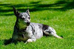 Abby The Sun Dog (Scott DeSelle) Tags: fujifilm xt2 fujinonxf100400mmf4556rlmoiswr abby ratterrier terrier dog