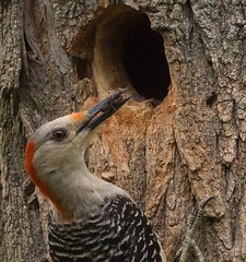 Mommy bringing fresh meat for the kids. (jimbobphoto) Tags: woodpecker bird mother bug insect nest animal