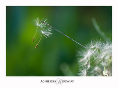 On a life rope. (smoothna) Tags: macro smoothna nature green d90 dmuchawce dandelion seeds