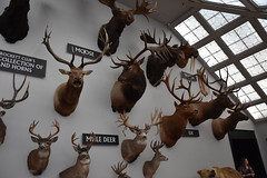 Wonders of Wildlfie National Museum and Aquarium (Adventurer Dustin Holmes) Tags: 2018 wondersofwildlife museum moose muledeer deer taxidermy exhibit elk