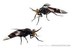 Diptera, Tabanidae (Techuser) Tags: whitebackground fundobranco myn meetyourneighbours fieldstudio still infinite flymacro dipteraclose moscabrasileira faunasudeste inseto insect piedade atlantic forest mata atlantica rainforest