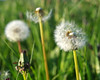 Dandelions (eric robb niven) Tags: ericrobbniven scotland dandelion seed heads auchterhouse springwatch