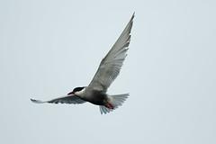 Whiskered Tern (!! Michael Francis !!) Tags: chlidoniashybrida whiskeredtern tern gull bird 7dmkii canon canon400mmf4doisii birdinflight bif bps birdsofindia canon7dmkii 400mm f4 do is ii