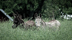 Up to their necks (Riversongfcr) Tags: donkeys grass 118picturesin2018