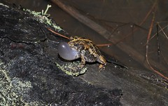 Male Oak Toad (Anaxyrus quercicus) (samdillon621) Tags: anuran anura frog toad treefrog herpetology nature summer spring