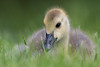 Canada Gosling (Scott Alan McClurg) Tags: anserinae anserini bcanadensis branta aggression aggressive animal baby bird canada canadageese canadagoose geese goose gosling life nature naturephotography neighborhood pond portrait spring suburbs swim swimming urban water wild wildlife