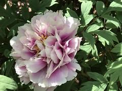 the flower (m_big_b) Tags: 7dwf nyc garden botanicalgarden pink flower peonie
