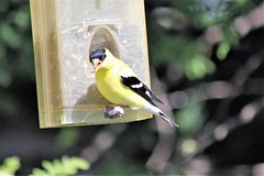 American Goldfinch (Carduelis tristis) (Gerald (Wayne) Prout) Tags: americangoldfinch carduelistristis animalia chordata aves passeriformes fringillidae carduelis tristismybackyard cityoftimmins mountjoytownship northeasternontario northernontario ontario canada prout geraldwayneprout canon canoneos60d eos 60d digital camera photographed photography birds perchingbirds songbirds finches american goldfinch animals wildlife nature yellow black birdfeeder backyard timmins city northeastern northern mountjoy township ef70300mmf456isusm