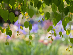 Peeking through the Curtain (Synapped) Tags: schreiners iris garden salem oregon horizontal leaf tree flowers colorful leaves hang hanging