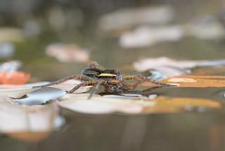 Raft Spider (Dolomedes fimbriatus) on broad-leaved pondweed