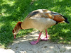 Egyptian goose 1 (Artemis1947) Tags: sussex sheffieldpark nationaltrust animals birds geese egyptiangeese