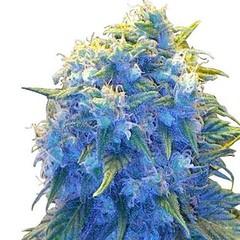 blue-haze-seeds-fem_large (Watcher1999) Tags: blue haze dream cheese cannabis medical marijuana seeds growing weed smoking ganja legalize it