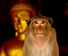 ,, Primate & Buddha ,, (Jon in Thailand) Tags: themonkeytemple monkey ape primate jungle cave wildlife wildlifephoography nikon d300 nikkor 70300vr monkeyeyes pinhead conehead monkeyeras buddha gold bigmonkey monkeymouth monkeynose pointyhead pensivelook