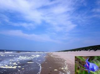 Blues. Foam Algae, Phaeocystis globosa, and Echium vulgare, Viper's Bugloss, Heemskerk Beach, North Holland, The Netherlands