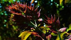 Macro:  So Velvet (ASHA THE BORDER COLLiE) Tags: macro folage branch leaves bush connie kells county down photography