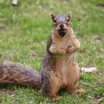 317/365/3604 (April 24, 2018) - Squirrels in Ann Arbor at the University of Michigan (April 24th, 2018) thumbnail