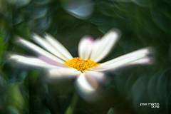Margarita 2736 (José Martín-Serrano) Tags: margarita flor flores bockeh bokeh helios desenfoque d800 naturaleza
