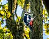 Great Spotted Woodpecker-Dendrocopos major-2429 (George Vittman) Tags: bird tree wood woodpecker spot red black white wildlife wildlifephotography jav61photography jav61 fantasticnature