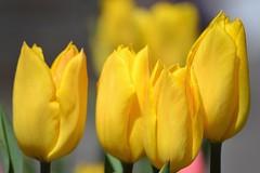 Sunshine (KaDeWeGirl) Tags: newyorkcity bronx botanical garden nybg yellow tulips flowers