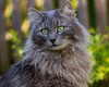 The king of the garden (FocusPocus Photography) Tags: fynn fynnegan katze kater cat chat gato tier animal haustier pet garten garden
