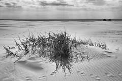 Bogue Inlet (F. Neil S.) Tags: beach dune sea grasses atlantic ocean barrierisland bogueinlet emeraldisle nikon d600 nikeffects blackandwhite monochrome sky clouds spring fisherman hammocks nikonafsnikkor1635mmf4gedvr