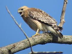 I'm hawkish on hawks @ #SarahTBoltonPark in Beech Grove, Indiana. (kennethkonica) Tags: nature birds animalplanet animal animaleyes autumn canonpowershot canon usa america midwest indianapolis indiana indy color outdoor wildlife