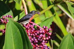 Male Mistletoebird (aussiegypsy_Katherine NT) Tags: mistletoebird flowerpecker male adult dicaeumhirundinaceum glossy black red tiny small mistletoe medinilla exotic plant cumminghii flowers seeds purple