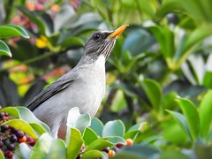 Sabiá-poca - Turdus amaurochalinus (sileneandrade10) Tags: sileneandrade sábiapoca turdusamaurochalinus creamybellied pássaro animal freebird nikoncoolpixp900 nature natureza nikon turdidae