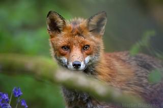 Red Fox 9847(6D3)