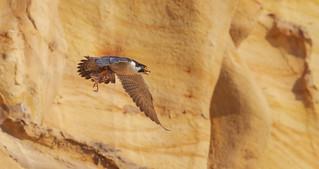 Peregrine Falcon bringing in food  (Falco peregrinus)