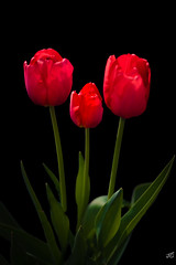 Tulip's Family (jgaosb) Tags: tulip backyard low key