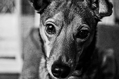Ruby (pete4ducks) Tags: on1pics ruby dog animal pet oregon beaverton blackandwhite grainy dynamiccontrast 2017 spring sextonmountain portrait raw cropped sonyalpha mirrorless face snout whiskers 500views