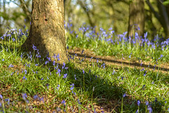 Bluebells at The Outwoods (John__Hull) Tags: bluebells the outwoods charnwood leicestershire loughborough nanpantan england uk nikon d3200 grass tree