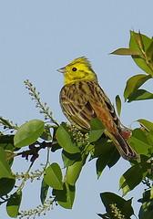 Yellowhammer (marnoon) Tags: bird nature beautiful wildlife crop spring