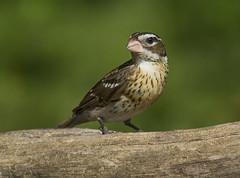 Rose-breasted Grosbeak, female (AllHarts) Tags: femalerosebreastedgrosbeak backyardbirds memphistn naturesspirit thesunshinegroup feathersbeaks ourwonderfulandfragileworld