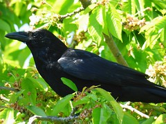 Hello Crow ... ☺ (Tricia in Kent UK ....☺) Tags: hellocrow crow birds garden cherryblossom cherryblossomtree maidstonekentuk