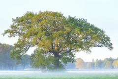 The early bird... (Bram de Jong) Tags: tree oak quercusrobur salland gooiermars spijkvoorde deventer landscape sunrise nikond500 overijssel groundfog beautifullight nature