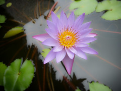 Lotus flower (luke hans) Tags: lotus macro frenchpolynesia flower