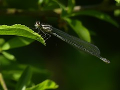 Azure Damselfly (ukstormchaser (A.k.a The Bug Whisperer)) Tags: azure damselfly damselflies fly flies animal animals wildlife milton keynes buckinghamshire may leaf leaves